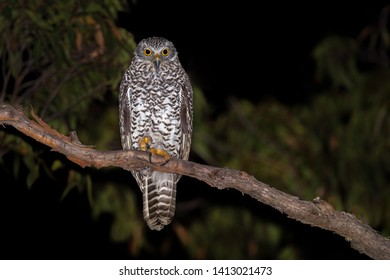 Powerful Owl roosted on a brach