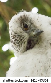Powerful Owl in Sydney Australia