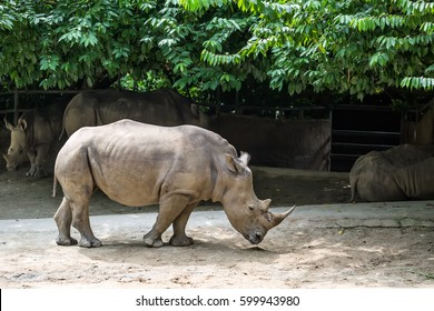 Powerful rhinoceros stands in the corral in the zoo in Singapore. Behind it there are other resting rhinos. Horizontal.
