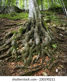The powerful roots of an ancient beech tree rooted firmly in the ground.