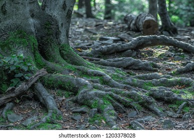 powerful roots of an old tree