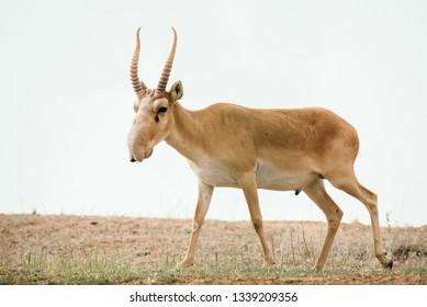 Powerful saiga male. Saiga tatarica is listed in the Red Book, Chyornye Zemli (Black Lands) Nature Reserve, Kalmykia region, Russia