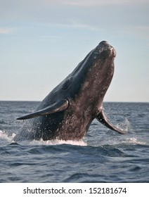 Powerful souther right whale jumping, near the Patagonian coast in Argentina