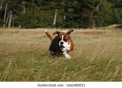 Powerful strong boxer dog running