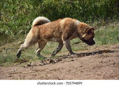 powerful, strong breed of dog Akita Inu