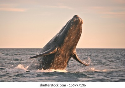 Powerful Whale flying