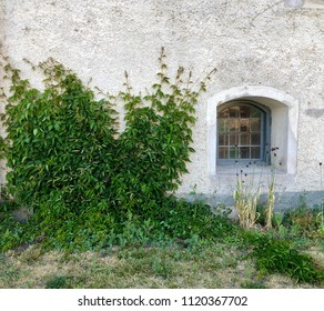 Powerful woodbine growing against a white plastered wall on building with small window as beautiful detail.