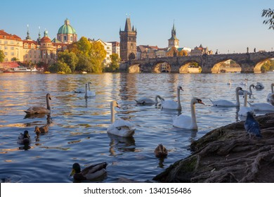 Prague - The Charles bridge and the swans on the Vltava river.