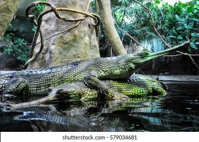 Prague, Czech Republic, July 3, 2015 :  Two big alligators in lake at Prague zoo.