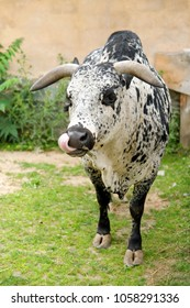 PRAGUE, CZECH REPUBLIC - JULY 5, 2014: Bos primigenius / Bos taurus in the Prague zoo. In 2017 TripAdvisor listed Prague ZOO as the 5th best Zoo in the world.