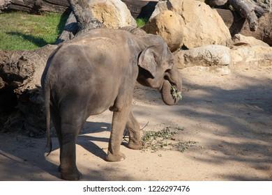 PRAGUE, CZECH REPUBLIC - OCTOBER 10, 2018: Elephants in the Prague Zoo.