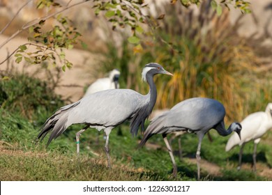 PRAGUE, CZECH REPUBLIC - OCTOBER 10, 2018: Blue Crane Stanley (heavenly belladonna)  in the Prague Zoo.