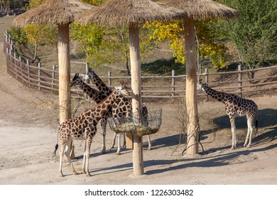 PRAGUE, CZECH REPUBLIC - OCTOBER 10, 2018: Giraffe in the Prague Zoo.