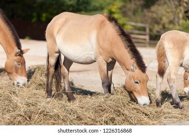 PRAGUE, CZECH REPUBLIC - OCTOBER 10, 2018: Horses in the Prague Zoo.