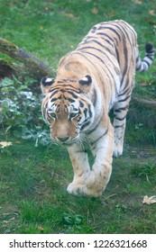 PRAGUE, CZECH REPUBLIC - OCTOBER 10, 2018: Tiger in the Prague Zoo