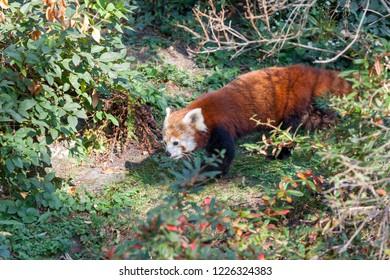 PRAGUE, CZECH REPUBLIC - OCTOBER 10, 2018: A rare species of panda in the Prague Zoo