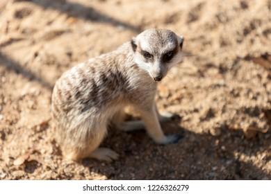 PRAGUE, CZECH REPUBLIC - OCTOBER 10, 2018: Meerkats in the Prague Zoo