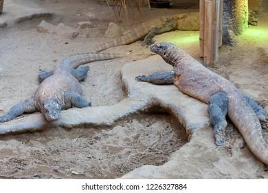 PRAGUE, CZECH REPUBLIC - OCTOBER 10, 2018: Varans in the Prague Zoo.