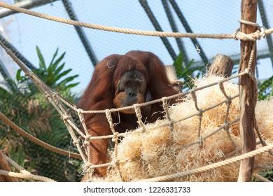PRAGUE, CZECH REPUBLIC - OCTOBER 10, 2018: Orangutan in the Prague Zoo.
