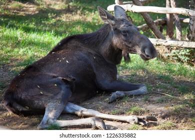PRAGUE, CZECH REPUBLIC - OCTOBER 10, 2018: Moose in the Prague Zoo.