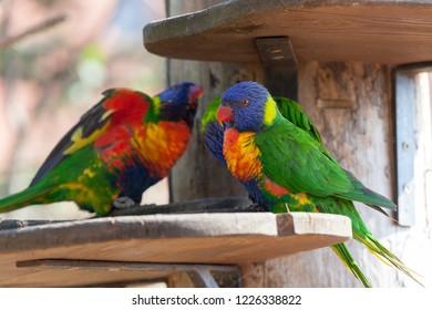 PRAGUE, CZECH REPUBLIC - OCTOBER 10, 2018: Rare species of parrots (lorikets) in the Prague Zoo.