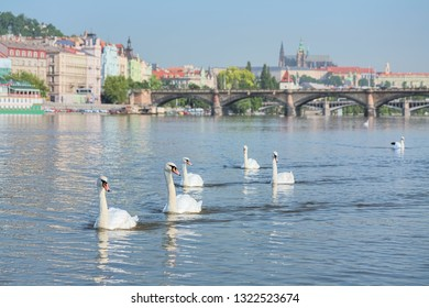 Prague, Czech Republic. Swans on Vltava river, and Prague Castle with St. Vitus Cathedral in the background in summer sunny day. Shallow depth of field with focus on the swans.
