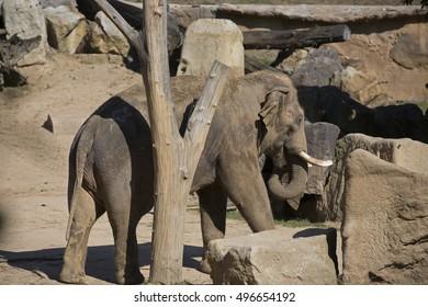 Prague, Czech Republic,September 1st, 2016. Asian Elephants in Prague Zoo