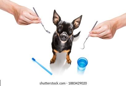 prague ratter dog, der beim Zahnarzt eine Zahnbürste mit Mund hält, einzeln auf weißem Hintergrund