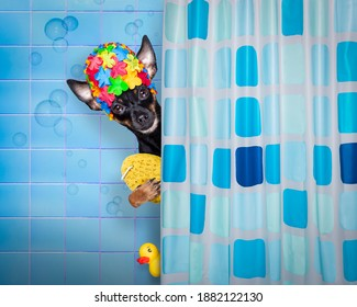 prague ratter dog under shower with cap, in bathtub , washing and cleaning with sponge