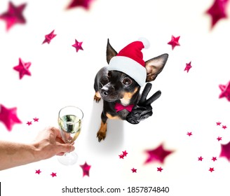 prague ratter , praguer rattler dog celebrating new years eve with champagne or cocktail cheering  isolated on white background beside a banner or placard, peace and victory fingers