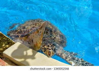 Praia do Forte, Brazil - 31 January 2019:  turtles on Project Tamar tank at Praia do Forte in Brazil