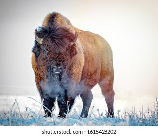 Prairie Bison in a Frosty Winter Morning