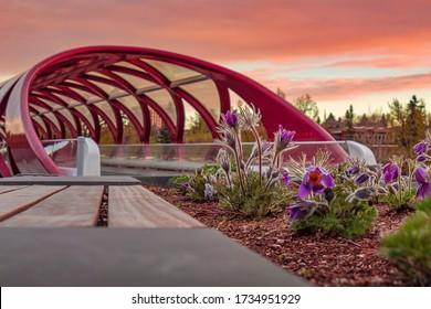 Prairie crocus flowers by the Peace bridge