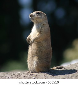 Prairie Dog at Attention