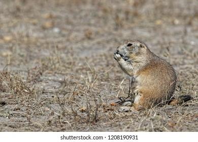 A prairie dog in the Badlands grass fields