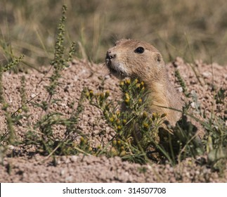 Prairie dog - Custer State Park, Black Hills, South Dakota
