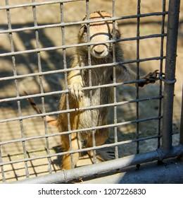 A prairie dog (Cynomys) in a cage