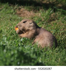 Prairie Dog eating a carrot in the green grass