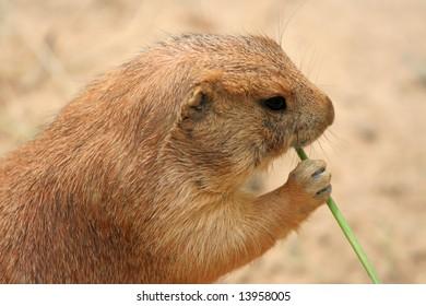Prairie dog eating grass
