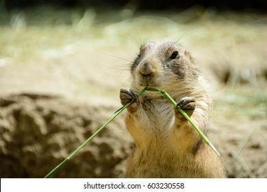 Prairie dog eating grass.