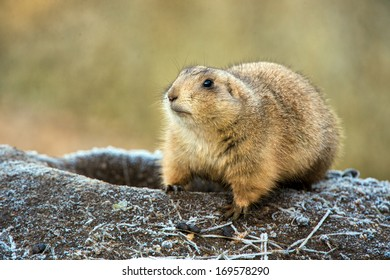 Prairie Dog emerging from frost covered burrow/Prairie Dog/Prairie Dog