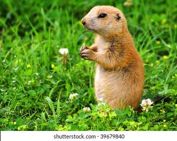 Prairie dog feeding on flowers.