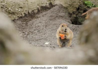 Prairie dog (genus Cynomys) eating a carrot.
