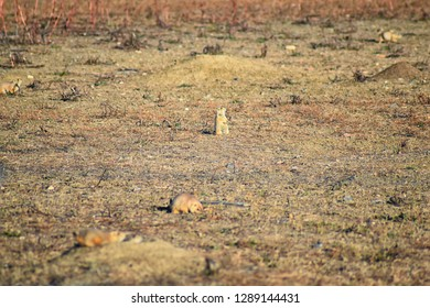 Prairie Dog (genus Cynomys ludovicianus) Black-Tailed in the wild, herbivorous burrowing rodent, in the shortgrass prairie ecosystem, alert in burrow, barking to warn other prairie dogs of danger CO
