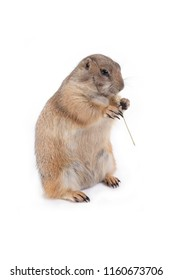 Prairie dog holding grass in hands and enjoy eating on white background.