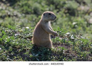 Prairie Dog Lookout