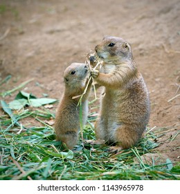 Prairie dog mother and her cub
