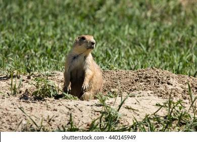 Prairie Dog Mound 2
