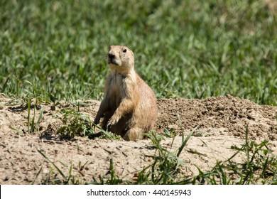 Prairie Dog Mound