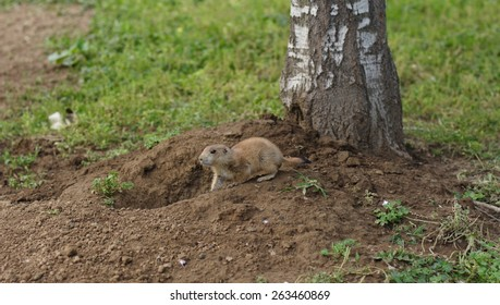 Prairie dog near the burrow